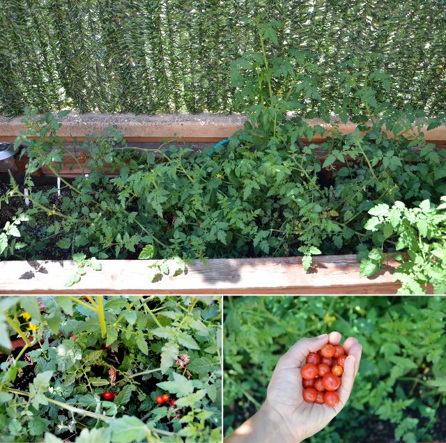 05 Tomate